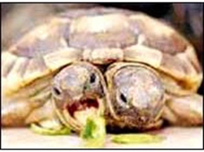İki başlı kaplumbağa doğdu